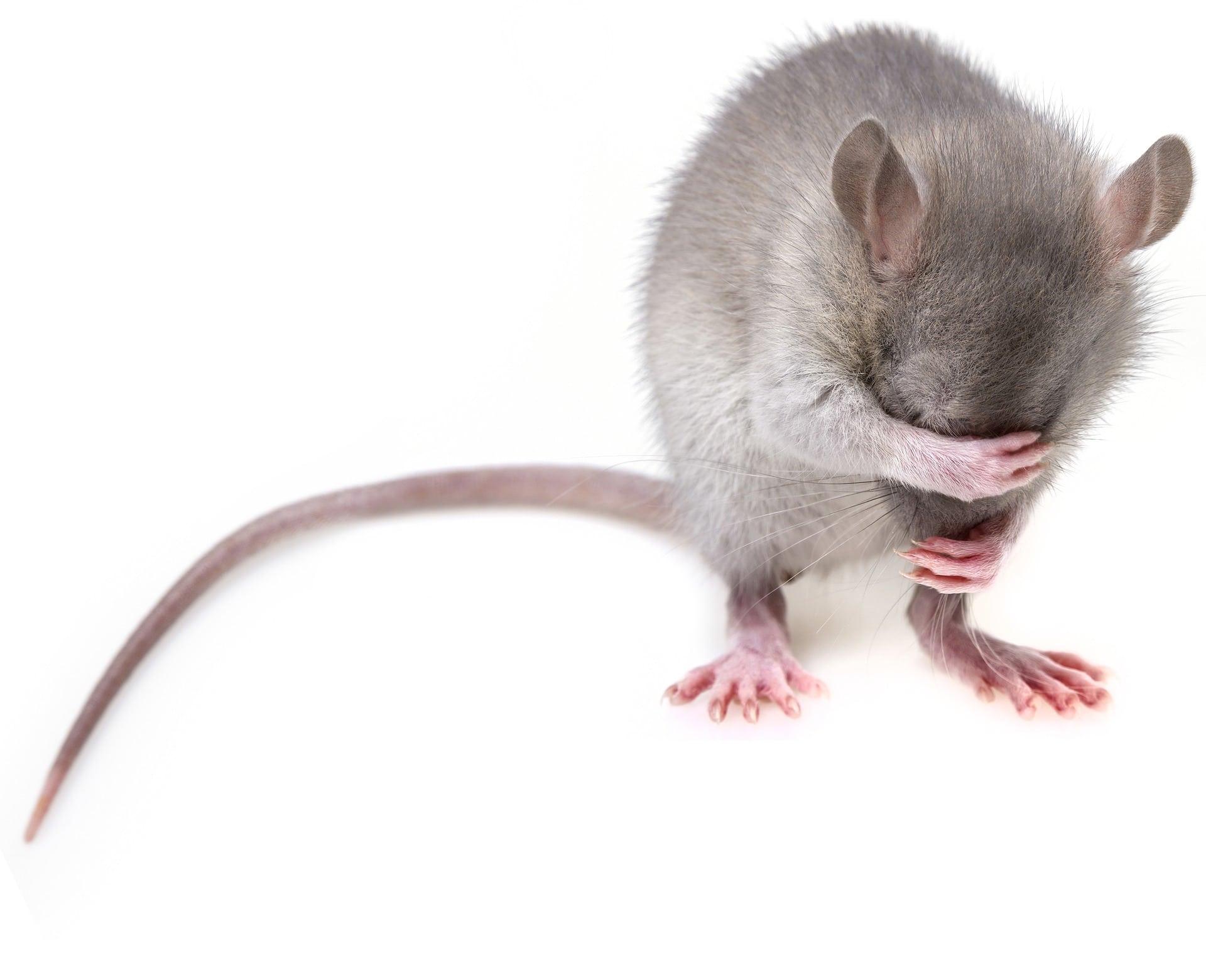 souris et rats