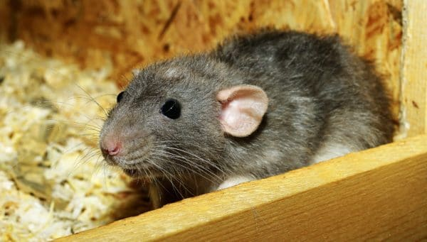 rat peur