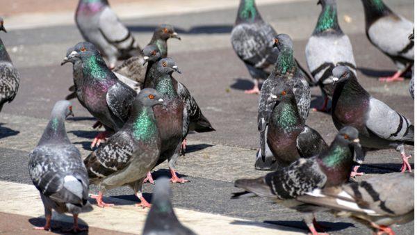 invasion de pigeon en ville