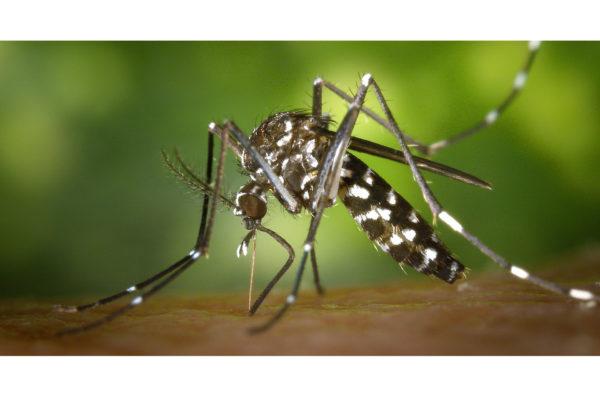 invasion de moustique tigre