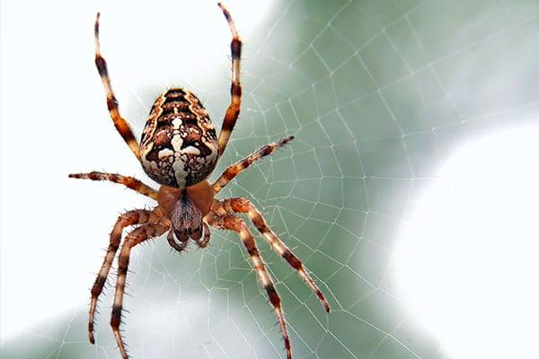invasion d'araignée
