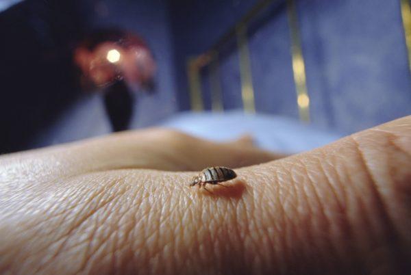 risques pour la santé des punaises de lit